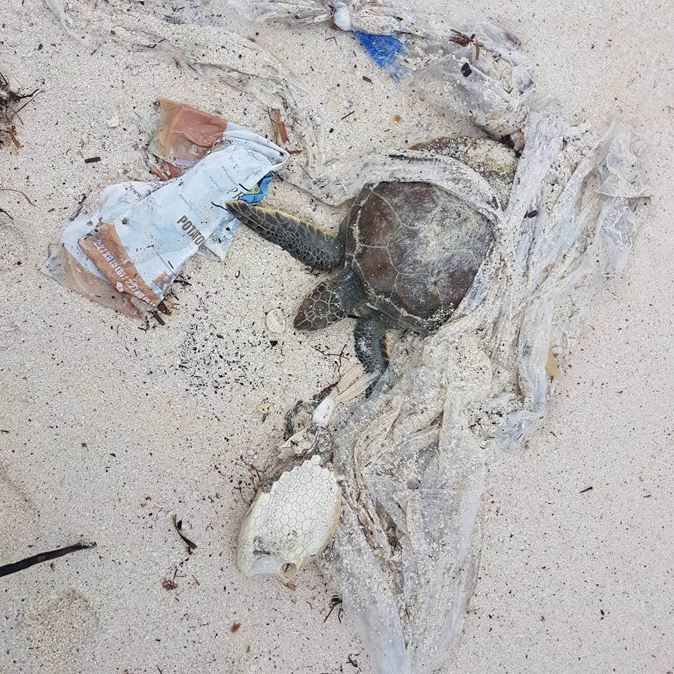 Plastic waste and sick sea turtle discovered on Shelly Bay Beach, Bermuda. Courtesy of Paige Eversley.